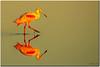 Dawn's Early Light [Explored] (mlibbe) Tags: nature birds florida wildlife merrittisland roseatespoonbill ajaiaajaja merrittislandnationalwildliferefuge brevardcounty 100commentgroup mygearandme mygearandmepremium mygearandmebronze mygearandmesilver mygearandmegold mygearandmeplatinum mygearandmediamond peregrino27life