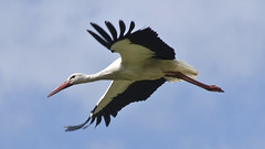 Stork in speedy flight.     (Pls view in Full HD!)