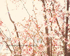 Spring Cherry Blossoms (KimFearheiley) Tags: floral spring colorful blossom northcarolina cherryblossoms freshness springtime beautyinnature florabella kimfearheileyphotography
