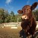 Tilden Cow