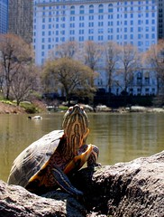 Fame Seeking Turtle in Central Park (Eddie C3) Tags: nyc newyorkcity urban water spring centralpark manhattan wildlife parks turtles thepond natureinthecity