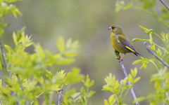 Greenfinch (Carduelis chloris) (Panayotis1) Tags: nature birds aves greece greenfinch animalia carduelischloris fringillidae passeriformes carduelis chordata φύση canonef400mmf56lusm imathia aggelochori πουλιά ημαθία αγγελοχώρι φλώροσ kenkopro300afdgx14x