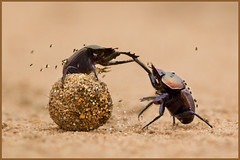The Gladiators (lemeloon) Tags: africa nature animals ball insect southafrica fly fight wildlife safari flies afrika gladiator gamedrive gamereserve scarabbeetle dungbeetle malamala mestkever hvhe1 hennievanherden
