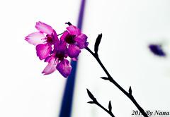 Flower (娜 娜☂Nana) Tags: flowers plant love nature beautiful nikon bokeh taiwan lovely 春天 台灣taiwan i 我愛台灣 d7000 flowersakuracherry