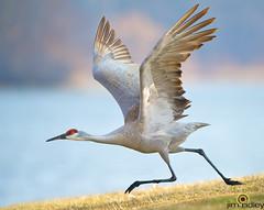 Just A Michigan Road Runner! (JRIDLEY1) Tags: blue green bird water grass wings crane running sandhillcrane brightonmichigan thewonderfulworldofbirds jridley1 jimridley httpjimridleyzenfoliocom mygearandme blinkagain photocontesttnc12 photocontesttnc13