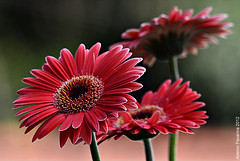 246 032012 Gerbera (Ademir Pavarina) Tags: flower natureza flor gerbera frenteafrente nanaturezainnature