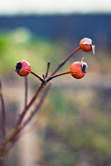 Three (Robin Dahling) Tags: blue orange flower green nature robin field canon photography 50mm three branch dof sweden stockholm bokeh 18 depth nag dahling 600d