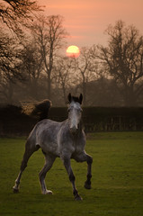 Jack - Sunset Portrait (Old-Man-George) Tags: sunset horse field animal rural landscape jack countryside farm country farming british agriculture equine