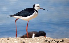 2012 02 27 (17ce) Pied Stilt @ Blockhouse Bay-a55v-09 (Terry Hollis) Tags: newzealand sony auckland aotearoa blockhousebay piedstilt himantopusleucocephalus dslt himantopushimantopusleucocephalus terryhollis blinkagain a55v bestofblinkwinners minoltaaf500mmf8salreflexlens onephotoweeklycontestweek10 whiteheadedsilt