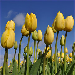 it's tulip time.. (leuntje) Tags: holland netherlands tulips explore fp frontpage bollen yellowblue noordwijk tulpen bulbflowers bollenstreek bloembollen
