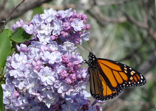 "Monarch butterfly in lilacs • <a style=""font-size:0.8em;"" href=""http://www.flickr.com/photos/10528393@N00/7066750643/"" target=""_blank"">View on Flickr</a>"