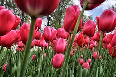 tulips in the wind (Forsaken Fotos) Tags: