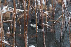 snowy pond  08 (Junko Hirata) Tags: winter snow bird water animal japan tokyo wildlife animalplanet taitoku 2013