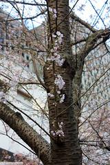 Akebono Cherry Tree (gerry.bates) Tags: pink flowers trees canada vancouver canon cherry flora bc britishcolumbia blossoms cherryblossoms ornamentalcherry burrardstreetstation akebonocherry prunusyedoensisakebono