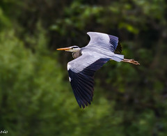 Grey Heron (rogerbo69) Tags: animals tiere natur vgel byrd wildlive wildtiere