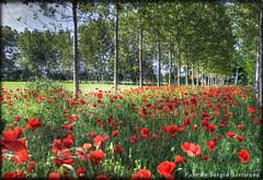Papaveri (celestino2011) Tags: natura rosso paesaggio papaveri