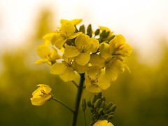 Rapeseed flowers (Unni Henning (back/catching up)) Tags: england macro field yellow closeup spring blossom outdoor farming oil produce warwickshire rapeseed rapeseedoil