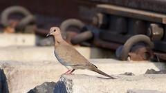 Laughing dove ( ) (jhureley1977) Tags: india birds delhi jabalpur laughingdove indiabirds delhibirds jabalpurbirds