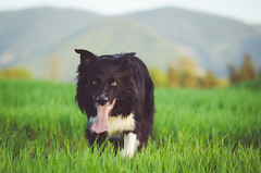 untitled (mimusha) Tags: light dog pet nature evening collie colours sheepdog bordercollie iman