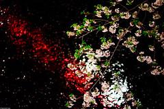 | Crossing the red river () Tags: japan tokyo cherryblossom   meguro hanami   nightsakura  sonya7 zeissbatis85mmf18
