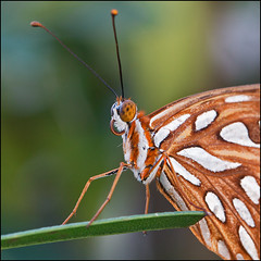 Agraulis nacr / Gulf Fritillary (Agraulis vanillae) (eve_bg_1 (on / off)) Tags: agraulisnacr gulffritillary agraulisvanillae passionbutterfly nymphalidae nymphalid heliconiinae longwing agraulis lepidoptera lpidoptre papillon butterfly mariposa cayosantamaria cuba closeup macro macrophotographie macrophotography outdoor nature wildlife portrait insect insecte insecta entomologie entomology