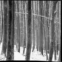 Wintry Woodland - Ilford fp4 125 (magnus.joensson) Tags: winter blackandwhite snow tree monochrome zeiss skne sweden c 150 hasselblad plus rodinal ilford fp4 500cm sonnar orangefilter sdersen 250mm imacon