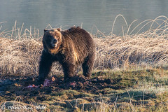 Grizzly Bear (moore.sterling) Tags: yellowstonenationalpark grizzlybear yellowstonewildlife blacktaillakes sterlingmoore moorethanwildphotography
