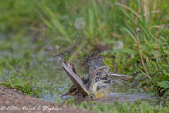 Slish Splash, Taking A Bath (dcstep) Tags: englewood colorado unitedstates us y6a9460dxo cherrycreekstatepark canon7dmkii ef500mmf4lisii ef14xtciii allrightsreserved copyright2016davidcstephens dxoopticspro1054 bath bathing meadowlark bird handheld