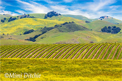 Layers (Mimi Ditchie) Tags: flowers green grass landscape vineyard spring layers rollinghills ednavalley