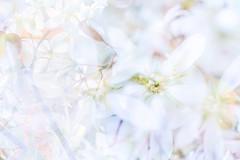 Flora Plenteous 59 (pni) Tags: flower suomi finland helsinki petal multipleexposure helsingfors tripleexposure multiexposure skrubu pni pekkanikrus