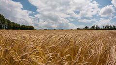 rik a bza (szhorvat) Tags: blue field yellow landscape golden wheat ain dombes tokina1017mm