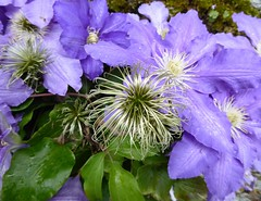 Blue Beauty (oh.suzannah) Tags: clematis blue beautiful seedheads silky garden wall dorset