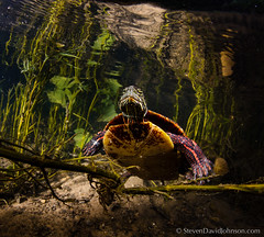 Painted Turtle underwater, Shenandoah River, North Fork (Steven David Johnson) Tags: underwater northfork paintedturtle chrysemyspicta
