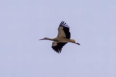 White Stork (arnewuensche66) Tags: birds animals wildlife vgel stork storch whitestork ciconiaciconia ciconia weisstorch