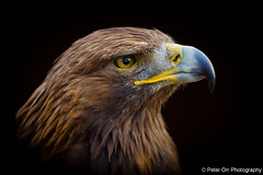 Golden Eagle (peter orr photography) Tags: uk england birds fauna objects hampshire goldeneagle locations aquilachrysaetos weyhill thehawkconservancytrust