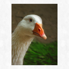silly goose... ('pixler') Tags: pictures park camera family toronto ontario canada silly art film nature animals digital photoshop computer outdoors photography graphics picnic flickr downtown highpark image trails manipulation goose squareformat flickrverse recreation create weddings pens february visitors spectators fx favourite flickrdom flickrfun edit gettogether largest groups flicker 2012 citypark ondisplay flickrites thebigsmoke 1806 grenadierpond flickrland highparkzoo 400acres humberbay artography photographicarts flickrween flickrmates flickrfriendship flickrship flickrhood flickrmas flickrtine artographx pixler bighugz blinkagain