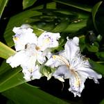 #1486 crested/fringed iris (シャガ・コチョウカ) thumbnail