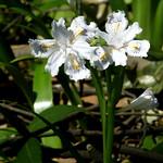 #1490 crested/fringed iris (シャガ・コチョウカ) thumbnail