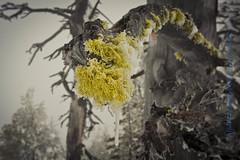 Lichen (steveheinrichsphotography) Tags: winter snow green ice centraloregon lichen icicles cascademountains tumalomountain steveheinrichsphotography