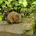 Water Vole NottsWT (cpt John Smith)