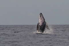 _DSC5372    baby bubba (ChanHawkins) Tags: maui whales 2012 spiritofphotography babybubba