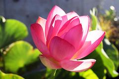 Nelumbo Kermesina (Carine.C) Tags: lotus nelumbo flowerlotus kermesina lotusflowerlotus lotusflowerpetal flowerslotusflowerpetals