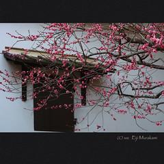 (Eiji Murakami) Tags: japan spring kyoto plum sigma    foveon   sd1
