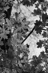 Autumn (Black & White) (Alexey Subbotin) Tags: autumn nikonf100 nikkor105 ilforddelta3200 bw black white