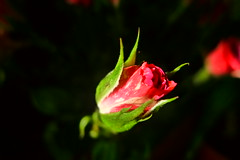 Roses of 8th March (Pavlin Mavlin) Tags: roses flowersmacro 8thmarch