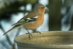 Chaffinch on Churn (CountyPix) Tags: male garden wildlife lincolnshire chaffinch milkchurn