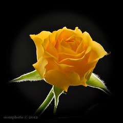 A Yellow Rose (oomphoto) Tags: flower macro rose yellow blackbackground petals yellowrose backlit dsc0219 nikond90 nikonnikkorafsvrmicro105f28gifed