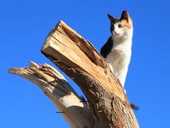 de kat uit de boom kijkend...:) (Kristel Van Loock) Tags: animal cat kat chat animaux gatto animali