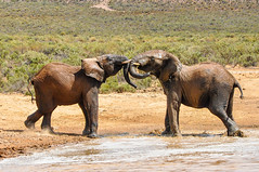 Playing Elephants (traario) Tags: holiday water animals southafrica tiere wasser play trunk tusk spielen elefants aquila karoo gamereserve elefanten rssel stoszhne