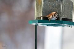 song sparrow (hynes.jane) Tags: winter bird newfoundland sparrow songsparrow